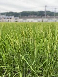 風景,緑,草,新緑,農業,作物,草木