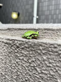 動物,緑,カエル,両生類