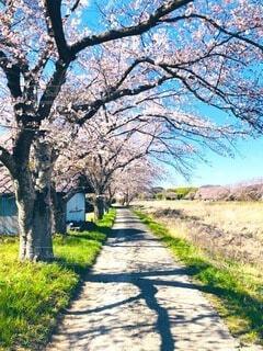 自然,風景,空,花,春,桜,屋外,ピンク,綺麗,青空,散歩,景色,樹木,道,無人,景観,草木,のどか,さくら,ブロッサム