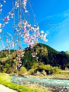 自然,風景,空,花,春,桜,屋外,ピンク,緑,雲,青空,青,川,しだれ桜,田舎,山,景色,河原,草,美しい,樹木,道,新緑,河川,無人,枝垂れ桜,草木,のどか,日中,おだやか