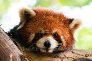 動物,木,屋外,かわいい,景色,レッサー パンダ
