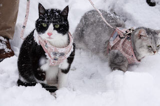 猫,動物,雪