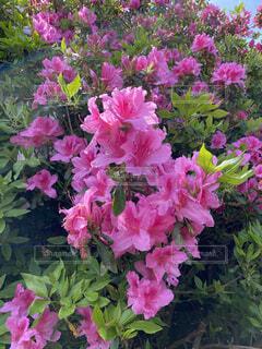 花,屋外,ピンク,花束,草木,ガーデン,つつじ,フローラ