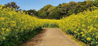 風景,空,花,屋外,菜の花,草,樹木,道,草木