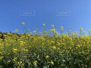 自然,風景,空,花,屋外,黄色,菜の花,景色,草木