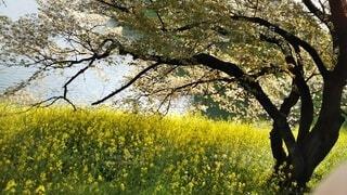 春,桜,菜の花,千鳥ヶ淵,皇居周辺