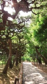 自然,屋外,樹木,四国,栗林公園,松林