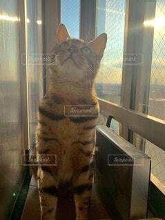 猫,夕日,動物,窓,夕方,ねこ,ペット,子猫,黄昏,ベンガル,ネコ科,ネコ