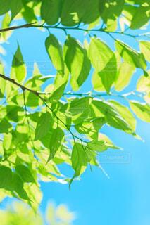 自然,アウトドア,空,夏,木,屋外,太陽,森,緑,青,枝,葉っぱ,散歩,葉,季節,光,爽やか,樹木,旅,新鮮,夏空,草木,フレッシュ