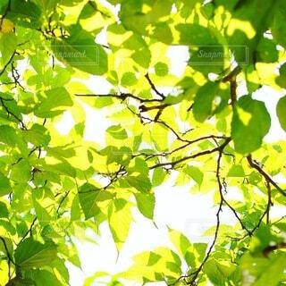 自然,夏,木,屋外,緑,枝,葉っぱ,葉,木漏れ日,鮮やか,光,樹木,ナチュラル,新鮮,草木,フレッシュ,あざやか