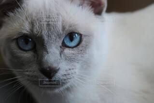 猫,動物,屋内,白,かわいい,青,ねこ,子猫,目,見つめる,髭,ネコ科,ネコ,シャム