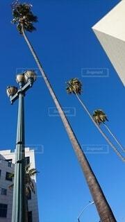 空,屋外,青空,晴天,アメリカ,ヤシ,ロサンゼルス,サンタモニカ,成長,生命力,日中,勢い