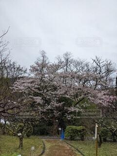 雨の日の桜の写真・画像素材[4286779]