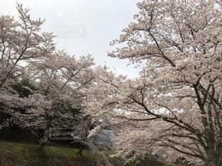 風景,空,花,春,屋外,草,樹木,草木,桜の花,さくら,ブロッサム,オーク