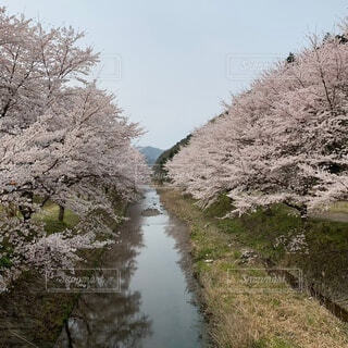 自然,空,花,春,屋外,水面,樹木,草木,桜の花,さくら,ブロッサム,山腹