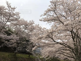 空,花,屋外,草,樹木,草木,さくら,ブロッサム