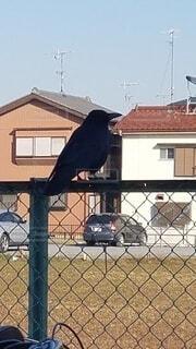 屋外,#カラス,#birds,#crow