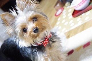 犬,動物,かわいい,茶色,室内,ヨークシャーテリア,カメラ目線
