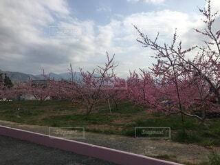 空,花,屋外,ピンク,雲,草,樹木,桃