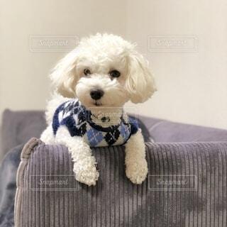 犬,動物,白,かわいい,ソファ,子犬,プードル,マルチーズ,マルプー