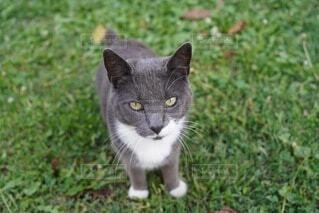芝生の上に座ってこちらをじっと見ている猫の写真・画像素材[4243839]