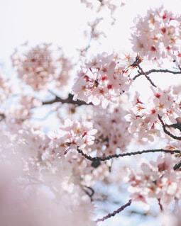満開のソメイヨシノの写真・画像素材[4311427]