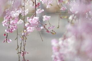 花,春,桜,花束,草木,桜の花,さくら,ブロッサム,竜王公園