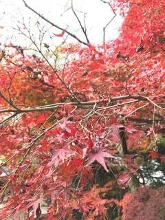 秋,紅葉,京都,赤,もみじ,樹木