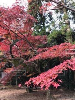 秋,紅葉,京都,葉,カエデ