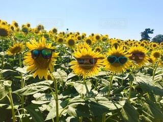 夏,屋外,ひまわり,サングラス,黄色,草木