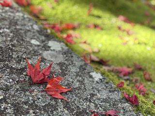 自然,秋,紅葉,芝生,もみじ,景色,落ち葉,かえで,フォトジェニック