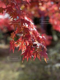 自然,秋,紅葉,もみじ,景色,眩しい,かえで,紅葉狩り,フォトジェニック