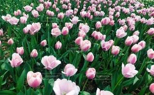 風景,花,春,屋外,ピンク,チューリップ,鮮やか,草,草木