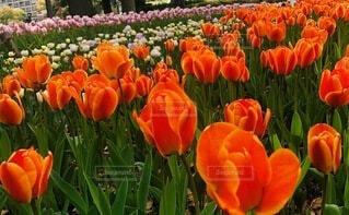 風景,花,春,景色,チューリップ,オレンジ,草,カラー,壁紙,草木