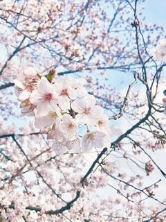 花,春,雪,屋外,枝,爽やか,樹木,暖かい,草木,桜の花,さくら,ブルーム,ブロッサム,朗らか