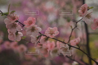 春の訪れを告げる桜の写真・画像素材[4274561]