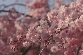 青空と桜の写真・画像素材[4277244]
