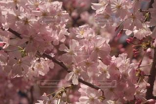 桜のクローズアップの写真・画像素材[4277243]