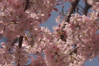 青空と桜の写真・画像素材[4277242]