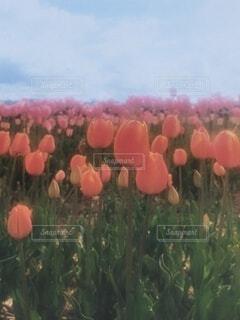 チューリップ畑の写真・画像素材[4336360]