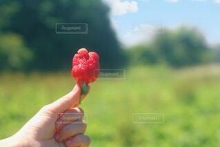 いちご畑のデコボコちゃんの写真・画像素材[4552717]