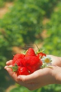 採れたてのいちごの写真・画像素材[4808401]