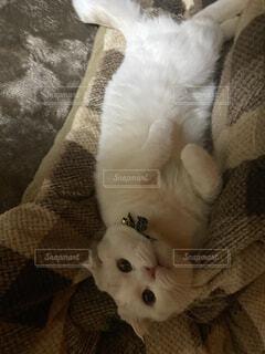 猫,動物,白,かわいい,子猫,スコティッシュ