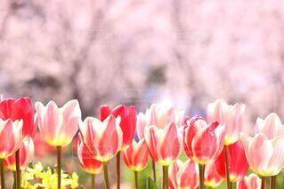 花,春,桜,ピンク,赤,花びら,チューリップ,お花見,可愛い,草木