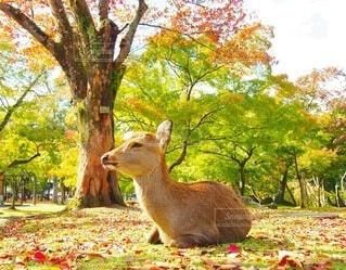 秋,動物,紅葉,木,屋外,葉,樹木,鹿,奈良