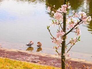 自然,桜,鳥,屋外,水面,池