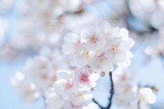空,花,春,白,青空,景色,canon,寒桜,草木,桜の花,さくら,ブルーム,ブロッサム,Canon EOS 80D