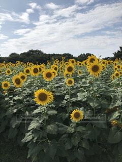 花,夏,屋外,ひまわり,雲,晴れ,青空,黄色,昼,草木,日中,キク目