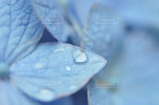 花,あじさい,水滴,景色,紫陽花,露,雨上がり,ドロップ,青色,草木,クローズ アップ,液滴