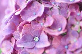 花,あじさい,紫,景色,紫陽花,草木